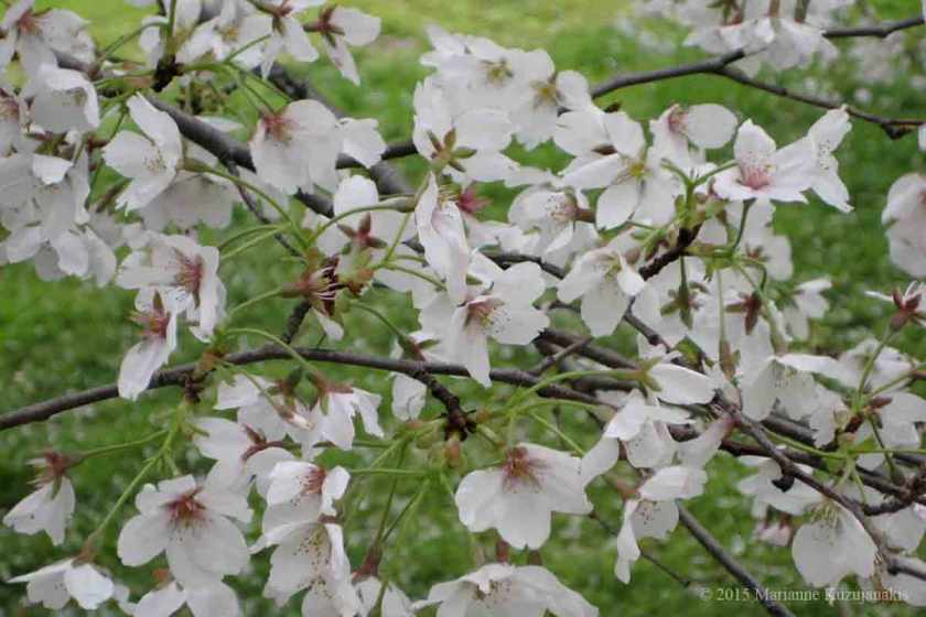 cherryblossoms_1200_low